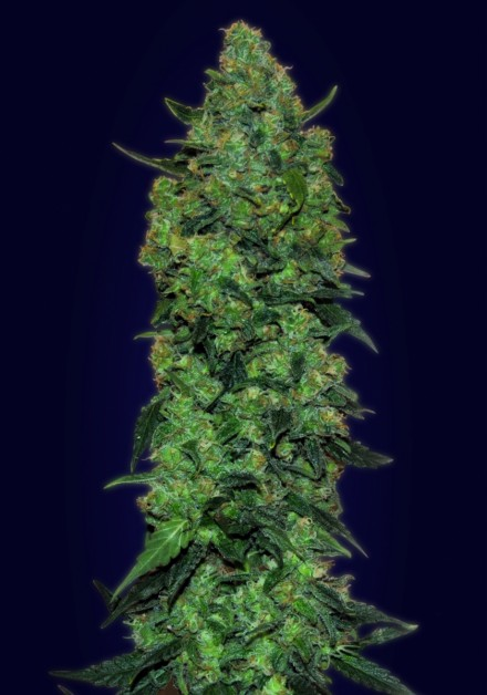 Auto Skunk Mass  Auto Florecientes (3  Unidades) ADVANCED SEEDS