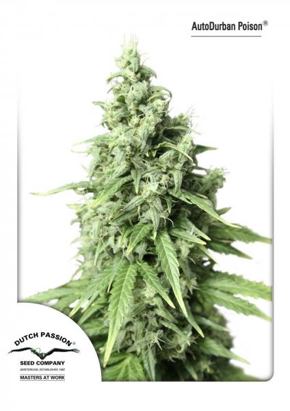 AutoDurban Poison Auto Florecientes (3 Unidades) DUTCH PASSION