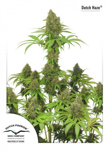 Dutch Haze Feminizada (5 Unidades) DUTCH PASSION