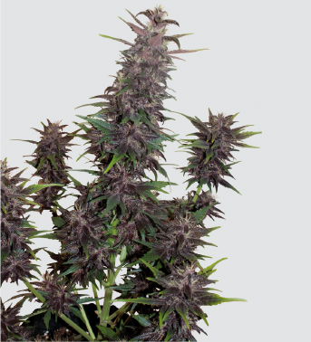 AUTO PURPLE KUSH  Auto Florecientes (1 Unidades) BUDDHA SEEDS BANK