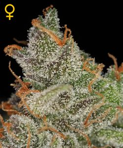 King Kush Feminizada (3 Unidades) GREEN HOUSE SEEDS