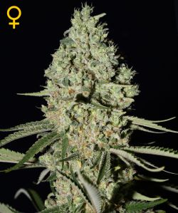 Super Critical Feminizada (3 Unidades) GREEN HOUSE SEEDS