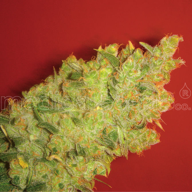 Jack la Mota Feminizada (3 Unidades) MEDICAL SEEDS