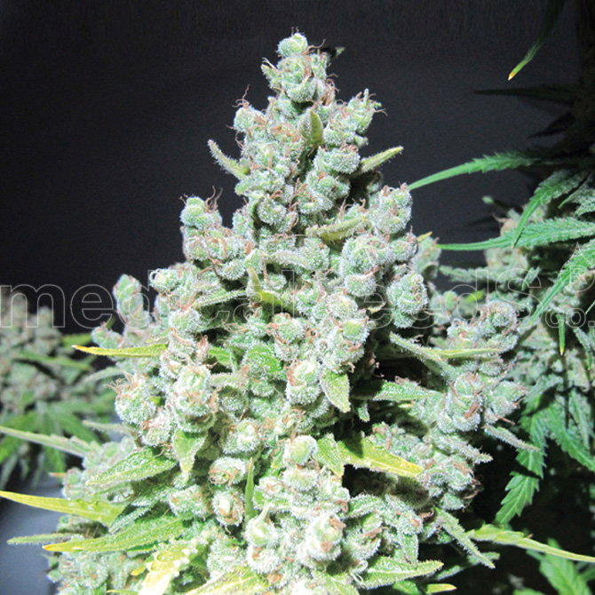 Malakoff Feminizada (3 Unidades) MEDICAL SEEDS