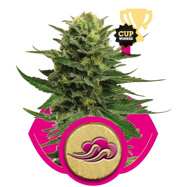 Blue Mystic Feminizada (3 Unidades) ROYAL QUEEN SEEDS