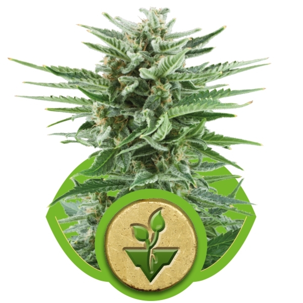 Easy Bud Auto Florecientes (3  Unidades) ROYAL QUEEN SEEDS
