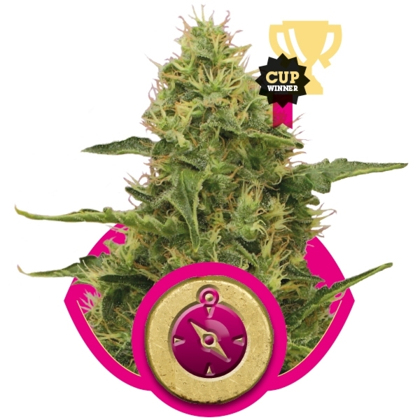 Northern Light Feminizada (3  Unidades) ROYAL QUEEN SEEDS