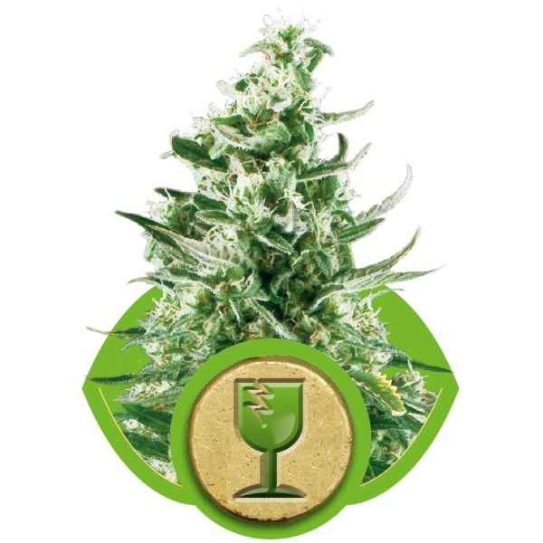Royal Critical Automatic 3 Fem. Royal Queen Seeds