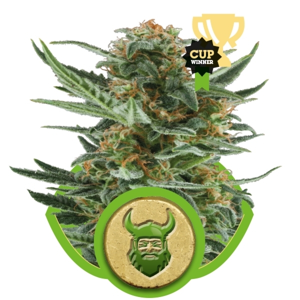 Royal Dwarf Auto Florecientes (3  Unidades) ROYAL QUEEN SEEDS