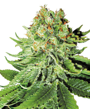 Northern Light Auto Auto Florecientes (3 Unidades) SENSI SEEDS