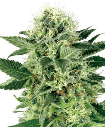 Northern Light Feminizada (3 Unidades) SENSI SEEDS