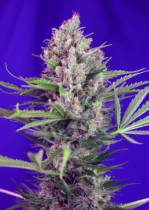 Cream Mandarine Fast Version Feminizada (3 Unidades) SWEET SEEDS