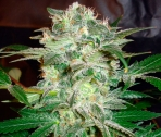 Mazar Kush Feminizada (3 Unidades) WORLD OF SEEDS